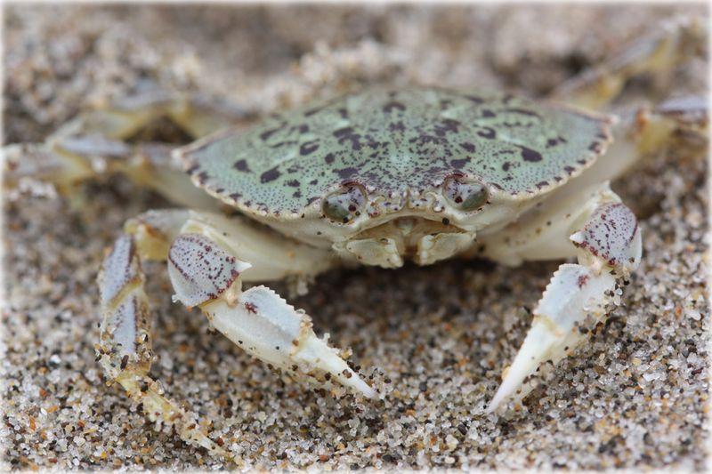 Bitty Sand Crab
