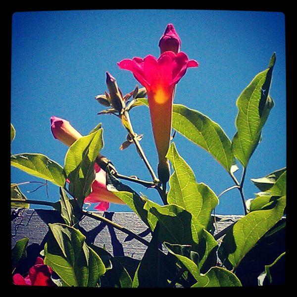Trumpet blossom