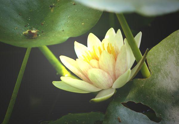 Hidden Lotus