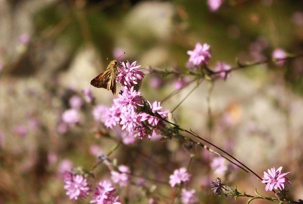 Mountain moth