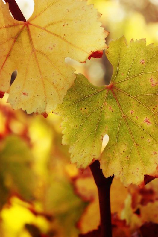 Grape Leaves sm