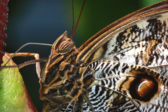 Butterfly 2 closeup sm
