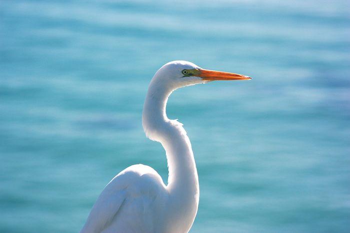 Egret sm