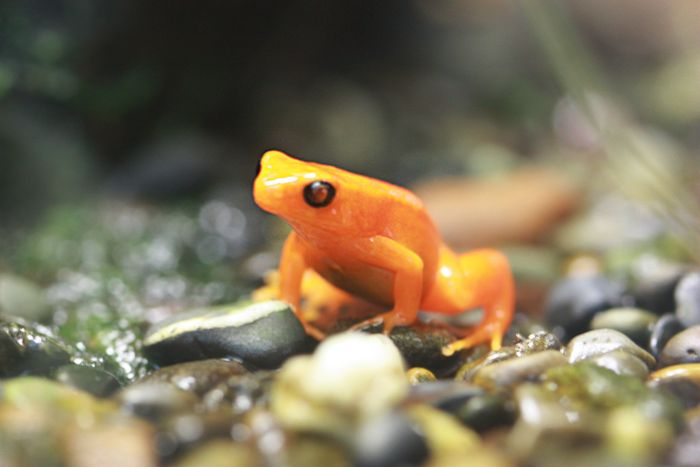 Tiny Orange Frog sm
