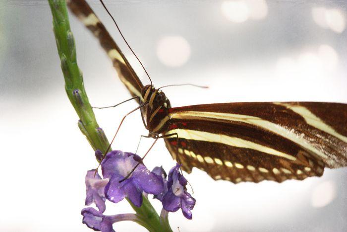 Butterfly 3 sm