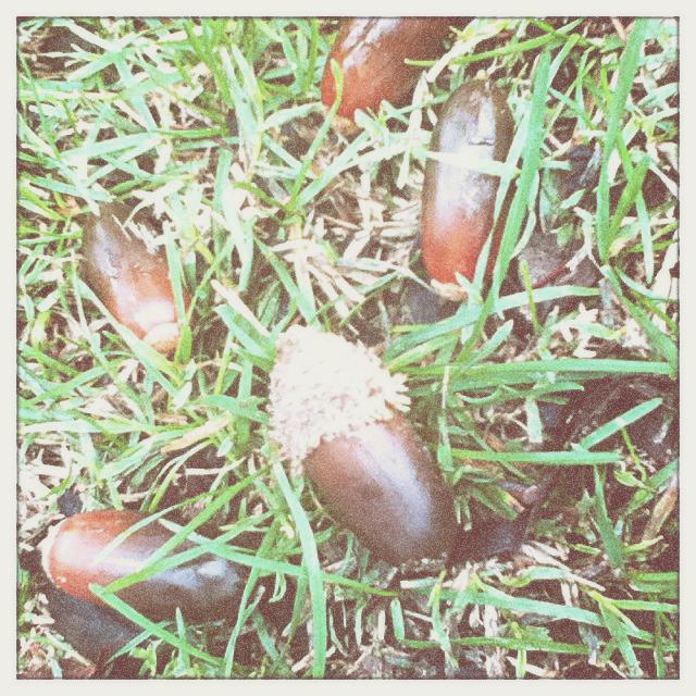 Wasted acorns